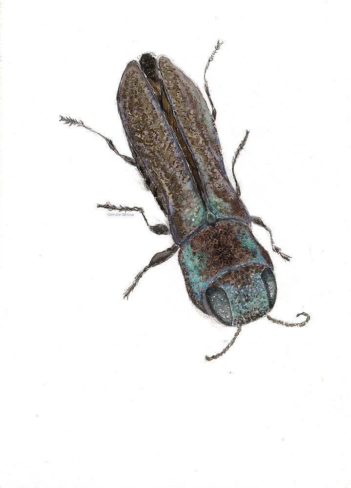 Agrilaxia - Jewel Beetle by Glendon Mellow