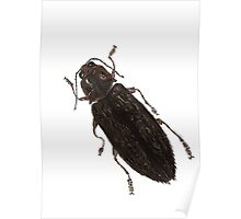 Texania - Jewel Beetle Poster