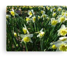 Daffodil garden Canvas Print