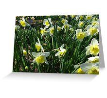 Daffodil garden Greeting Card