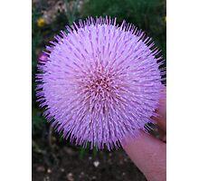 Purple Thistle Photographic Print