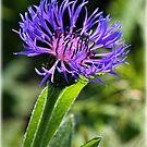 Cornflower by alan tunnicliffe