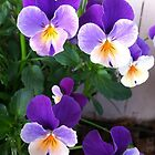 Pansy purple yellow by Julie Van Tosh Photography