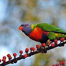 Rainbow Lorikeet. Cedar Creek, Queensland, Australia. (4) by Ralph de Zilva