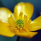 Ranunculus Macro by Astrid Ewing Photography