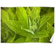 Campanula lactiflora Poster