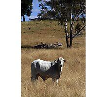 Brahman Bull Photographic Print