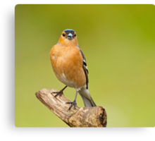 The Proud Chaffinch Canvas Print