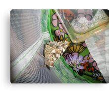 painted lady butterfly that we raised Canvas Print