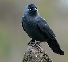 Jackdaw by M.S. Photography/Art