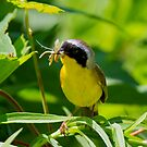 Common Yellow Throat Visits All You Can Eat Buffet by John Absher
