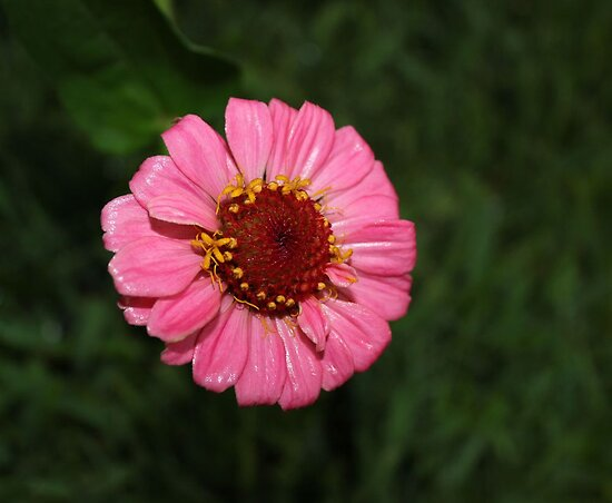 Rain on the Zinnia by aprilann