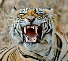 The Snarl- Tiger Ranthambore National Park India by vawtjwphoto