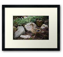 Duck in a garden. Framed Print