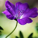 Wild Geranium by T.J. Martin