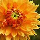 A Burst of Orange by lorilee