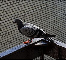Hot Pigeon by steeber