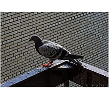 Hot Pigeon Photographic Print