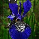 blue iris iPhone case by vigor