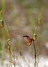 Flying Duck Orchid at Carbunup WA by Leonie Mac Lean