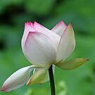 A pretty lotus flower by jozi1