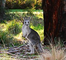 Eastern Grey Kangaroo by DarkChameleon