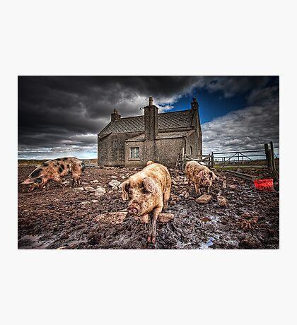 Island Piggies Photographic Print