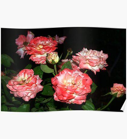 Peachy-pink rose bush Poster