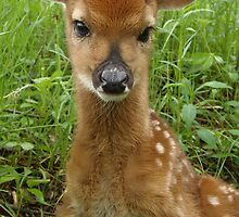 Whitetail Fawn portrait pose - 2012 by Molly  Kinsey