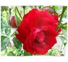 Ruby Red Splash Rose Poster