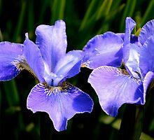 Irresistible Irises by Carol Clifford