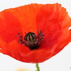 Wild poppy 2 by Photos - Pauline Wherrell
