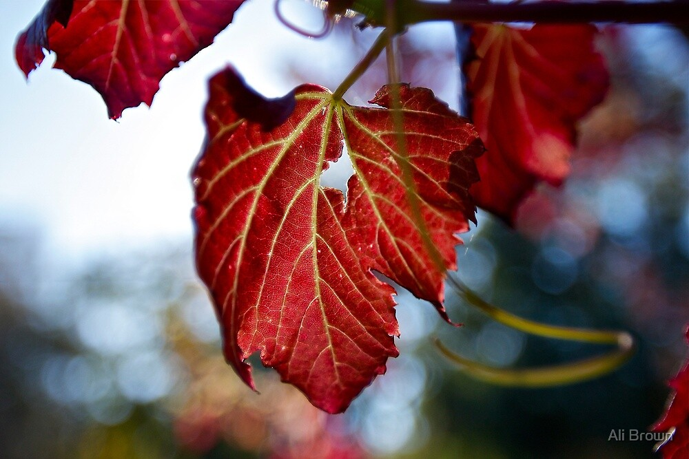 Autumn Leaves... only a few Red ones left by Ali Brown