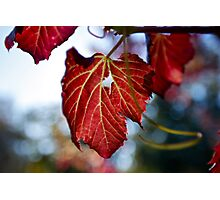 Autumn Leaves... only a few Red ones left Photographic Print