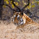 Mature male Bengal Tiger by Konstantinos Arvanitopoulos