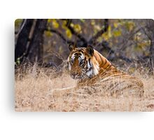 Mature male Bengal Tiger Canvas Print
