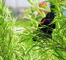 Male Red-wing Blackbird Guarding His Nest by Ron Russell