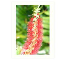 Unique Is My Name the Bottlebrush Flower Art Print