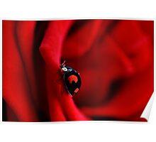 Black ladybug in red rose Poster