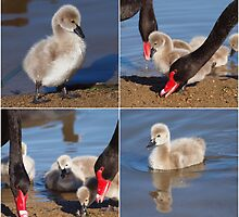 The Black Swans of Ponder Bay. by shortshooter-Al