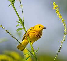 Male Yellow Warbler by John Absher