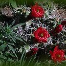 Claret Cup Cactus by Margot Ardourel