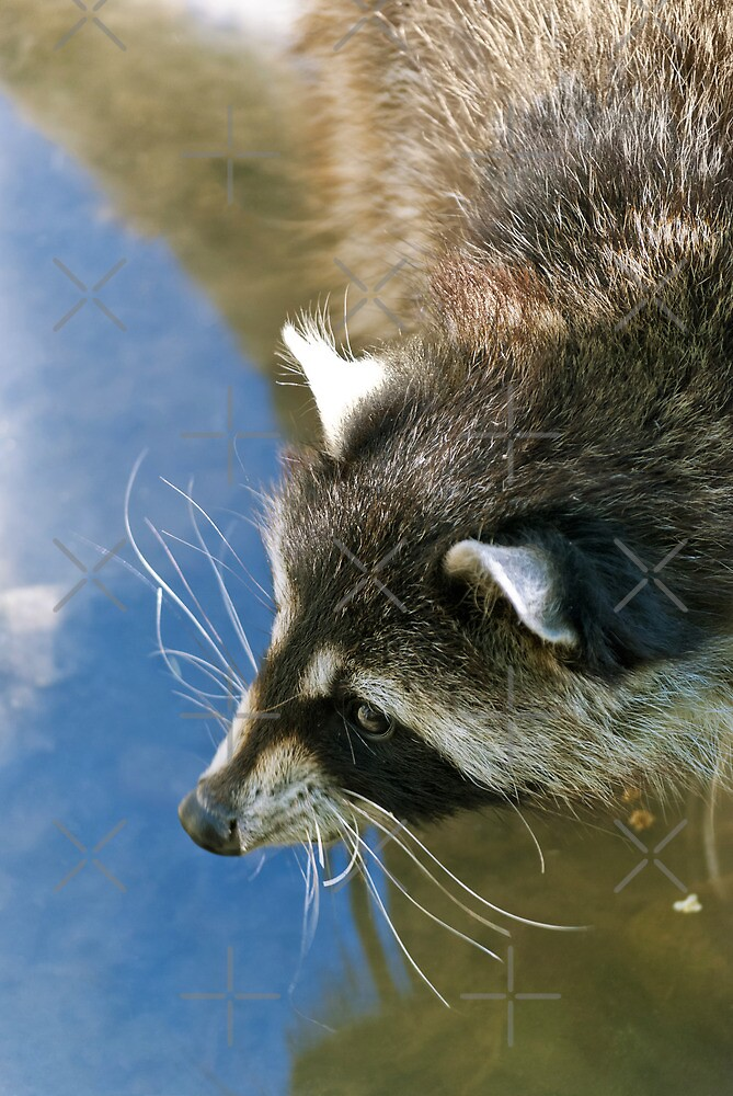 Raccoon by Vac1