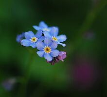 Forget-Me-Not by Simon Pattinson