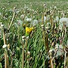 sea of dandelions by NordicBlackbird