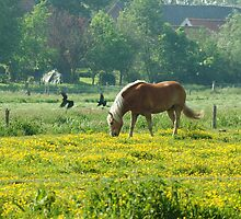 Horse in buttercup meadow by steppeland