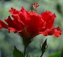 Close Up II - Rose Of Sharon - Primer Plano II - Hibisco by Bernhard Matejka