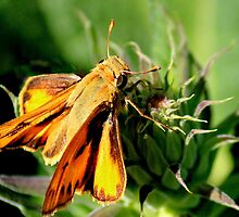 Fiery Skipper by Rosanne Jordan