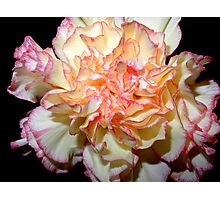 Sweet Carnation Photographic Print