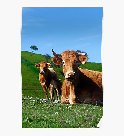 Cows on the grass Poster